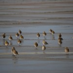 Golden Plovers Kinloss 9 Oct 2014 Allan Lawrence