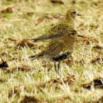 Golden Plovers Refouble 6 Apr 2018 Alison Ritchie