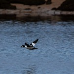 Goldeneye Lossie estuary 7 DEc 2013 David Main