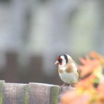 Goldfinch Buckie 27 Apr 2014 Keith Currie