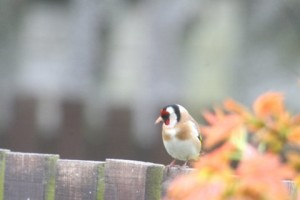 Goldfinch in Buckie garden with 7 others