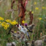 Goldfinch Kinloss 11 Aug 2017 Allan Lawrence