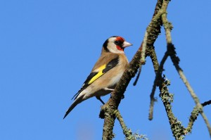 Goldfinch, Lossiemouth 26 Mar 2014 (Gordon Biggs)
