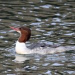 Goosander Burghead harbour 10 Nov 2016 Gordon Biggs
