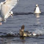 Goosander Lossie estuary 15 Sep 2016 Seamus McArdle 1