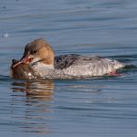 Goosander Lossie estuary 15 Sep 2016 Tony Backx 1 P
