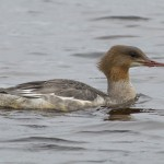 Goosander Lossie estuary 18 Sept 2014 David Main