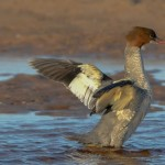 Goosander, Lossie estuary 25 Aug 2014 (David Main)