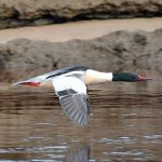 Goosander Lossie estuary 6 Mar 2017 Gordon Biggs