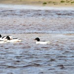 Goosanders Lossie estuary 21 May 2013 Gordon Biggs