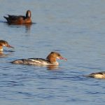 Goosanders Lossie estuary 6 Oct 2016 Gordon Biggs