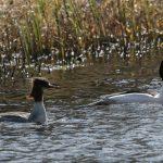 Goosanders Sanquhar Loch 25 Mar 2018 Tony Backx