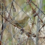 Grasshopper Warbler Kinloss 8 May 2017 Gordon Biggs