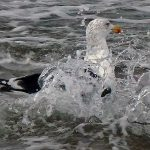 Great Black backed Gull Nairn 5 Oct 2017 Jack Harrison