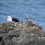 Great Black-backed Gull, near Burghead 20 Jun 2016 (Gordon Biggs) P
