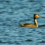 Great Crested Grebe Loch Spynie 12 May 2014 David Main