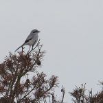 Great Grey Shrike west of Loch Kirkcaldy 28 Oct 2016 Mike Crutch P