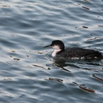 Great Northern Diver Buckie harbour 29 Dec 2012 Paint1