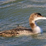 Great Northern Diver Burghead harbour 2 Feb 2014 Gordon Biggs
