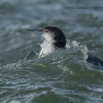 Great Northern Diver Gavia immer adult winter Burghead 30 Dec 2012 David Devonport