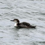Great Northern Diver Lossiemouth 22 Mar 2014 Gordon Biggs 2
