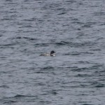 Great Northern Diver off Findhorn 18 May 2015 Richard Somers Cocks
