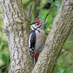 Great Spotted Woodpecker, Loch Spynie 4 Aug 2014 (Gordon Biggs)