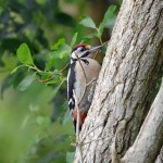 Great Spotted Woodpecker Loch Spynie 4 July 2014 Gordon Biggs