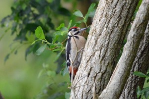 Great Spotted Woodpecker, Loch Spynie 4 July 2014 (Gordon Biggs)