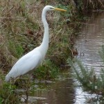 Great White Egret Calcots 2 Jan 2016 Bob Proctor P