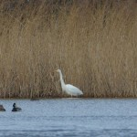 Great White Egret Loch Spynie 21 Feb 2016 M Caton 3
