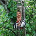Greater Spotted Woodpecker Auchanhandoch 17 June 2014 Fiona McHugh