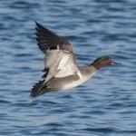 Green winged Teal Lossie estuary 16 Jan 2015 Mike Crutch
