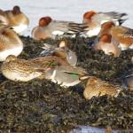 Green winged Teal Lossie estuary 16 Jan 2015 Tony Backx 1
