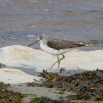 Greenshank Findhorn 17 Se copy