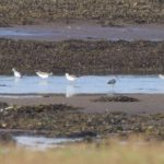Greenshank Findhorn Bay 15 Sep 2016 Richard Somers Cocks