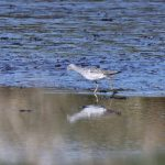 Greenshank Findhorn Bay 8 May 2017 Richard Somers Cocks