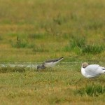 Greenshank Lossie estuary 15 July 2014 David Main 1
