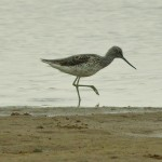 Greenshank Lossie estuary 15 May 2014 David Main 1