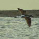 Greenshank Lossie estuary 15 May 2014 David Main 2