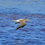 Greenshank Lossie estuary 7 Aug 2014 Gordon Biggs 2