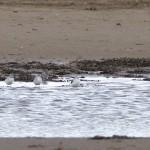 Greenshanks Findhorn Bay 23 Sept 2015 Richard Somers Cocks