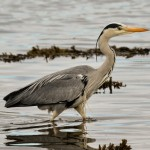 Grey Heron Lossie estuary 14 Apr 2014 David Main