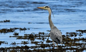 Grey Heron, Lossie estuary 14 Apr 2014 (David Main) 2
