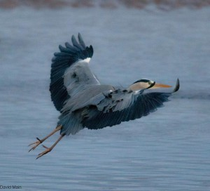Grey Heron, Lossie estuary 14 Jan 2014 (David Main)