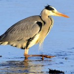 Grey Heron Lossie estuary 18 Feb 2013 David Main