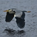 Grey Heron Lossie estuary 20 June 2014 David Main