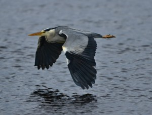 Grey Heron, Lossie estuary 20 June 2014 (David Main)