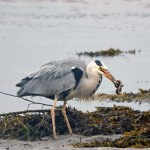 Grey Heron Lossie estuary 21 June 2014 Gordon Biggs