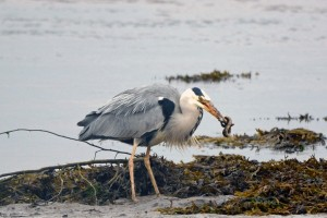 Grey Heron, Lossie estuary 21 June 2014 (Gordon Biggs)